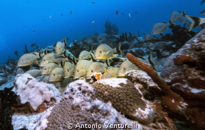 blue striped grunts by Antonio Venturelli