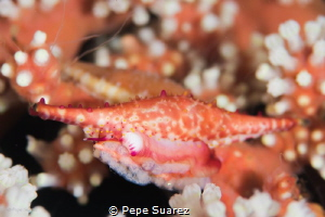 Cowrie with eggs by Pepe Suarez