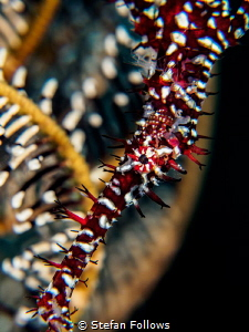 Plunge  Ornate Ghost Pipefish - Solenostomus paradoxus... by Stefan Follows