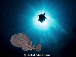 Electric Ray and a turtule close to the sun. Red Sea, Eg... by Artal Shoshani