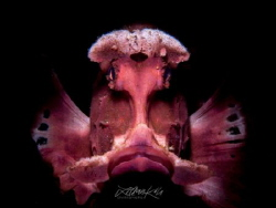 M A S K Paddle Flap Rhinopias (Rhinopias eschmeyeri) by Lilian Koh
