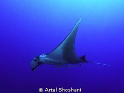 Ocianic Manta Ray. Red Sea, Egypt, Ras Umm Sid by Artal Shoshani