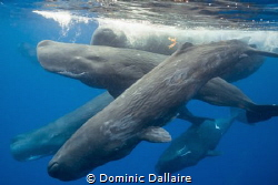 A pod of Sperm Whales ! by Dominic Dallaire