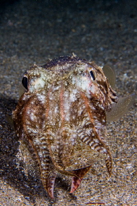 Cuttlefish hunted a big flounder in the night dive. by Mehmet Salih Bilal