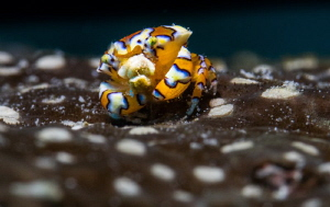 """Gaudy Clown Crab""