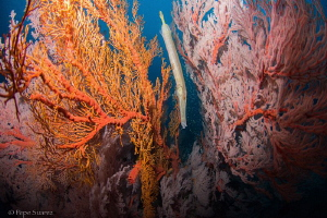Trumpet fish hiding in the sea fans by Pepe Suarez