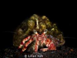 H I T C H H I K E R  Shrimp on Hermit Crab (Periclimen... by Lilian Koh