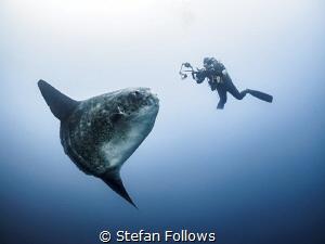 Like The Desert  Southern Ocean Sunfish - Mola ramsayi... by Stefan Follows
