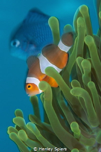 Blurry Clownfish Photobomb by Henley Spiers