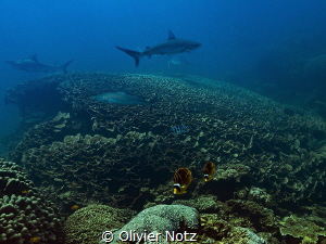 Shark cleaning station at Asho's Gap, Ningaloo Reef. Vis... by Olivier Notz