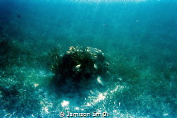 Lone coral at Pennekamp State Park. by Jamison Smith
