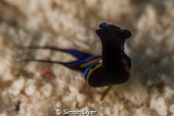 Leech headshield slug shot with a +15 diopter 105mmVR len... by Simon Dyer