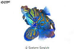 Mandarin fishes mating taken mid-water. The background wa... by Gaetano Gargiulo