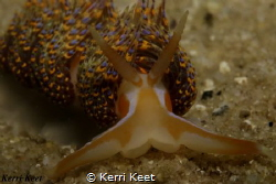 Portrait shot of a four colour nudibranch, Canon 70d with... by Kerri Keet