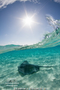 """""""Starry Stingray Splash""""! No Photoshop  Over-under at ... by Susannah H. Snowden-Smith"""
