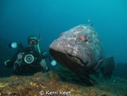 I swam into the current to get a shot of the potato bass ... by Kerri Keet