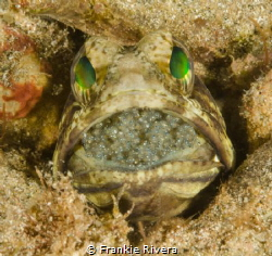 Jawfish with his next generation by Frankie Rivera