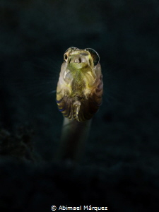 Pike Blenny by Abimael Márquez