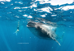 Beautiful Whale Sharks of Isla Mujeres! Taken with a Sony... by Ran Mor