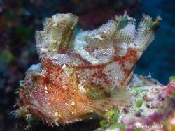 Cool looking Leaffish taken in Yap, Micronesia... Canon I... by Alex Tattersall