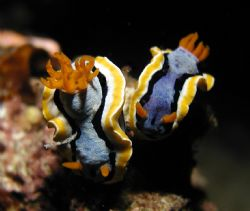 A pair of chromodoris taken during a night dive in Cape B... by Siew Ling Chang