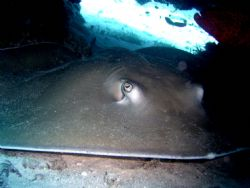 Sting Ray hiding out. by Ryan Stafford