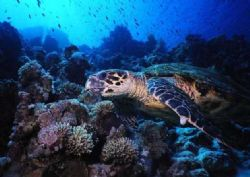 Red Sea Turtle! Close-up shot at Woodhouse Reef coral ga... by Erich Reboucas