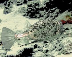 This picture of a Cowfish was taken with an Olympus 7070 ... by Gary Schlei