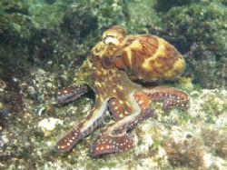 Octopus taken in Ras Mohamed Park with Olympus E300. by Nikki Van Veelen