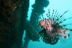 Guardians of Shipwrecks...the Lionfish. by Glenn Poulain