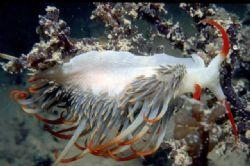 Naudibranch taken in Darwin Harbour NikonosIII 2:1 extens... by Chris Kennedy