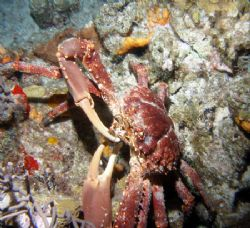 Large crab feeding during night dive at Paradise Reef in ... by Gary Schlei
