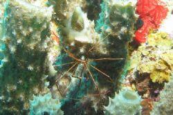 Arrow crab shot at Klein Curacao. by Jon Doud