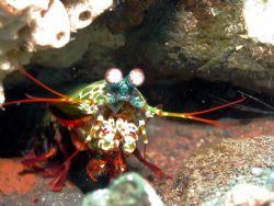 Mantis Shrimp taken at Bali, Indonesia by Dennis Siau
