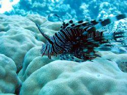 lion fish  mi avoret by Milan Zurkovic