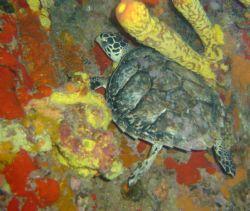 Turtle hiding in the reef... by Kelly N. Saunders