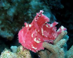 Pink Frogfish at Sipadan. Olympus SP350 by Alex Lim