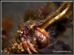Colourfull hermit crab. olympus C-7070 with Inon strobe. by Yves Antoniazzo
