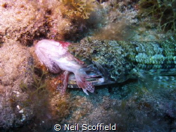 A Lizard Fish having dinner by Neil Scoffield
