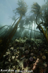 Wide angle shot of the typical temperate water reef in Ca... by Kerri Keet