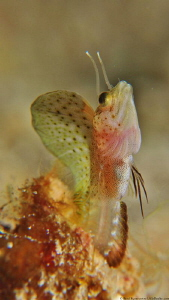 Ribbon Blenny (Emblemaria vitta) by Brad Ryon