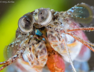 Tiny Mantis Shrimp shot with +10 and +5 Subsee diopters s... by Tony Cherbas