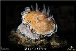 Glossodoris hikuerensis by Fabio Strazzi