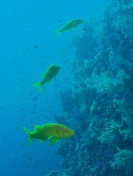 Goatfish taken at Shark Reef, Ras Mohamed Park with Olymp... by Nikki Van Veelen