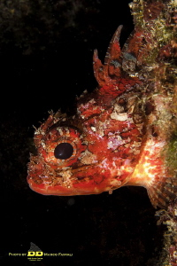 Mediterranean young red scorpionfish by Marco Faimali (ismar-Cnr)