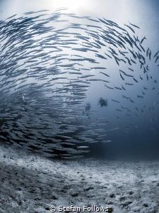Reciprocal  Chevron Barracuda - Sphyraena qenie  Sail... by Stefan Follows