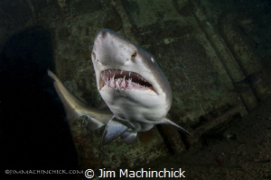 A Sand Tiger smiles in North Carolina by Jim Machinchick