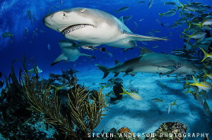 Lemon Shark rises !!!! by Steven Anderson