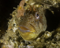 Tompot Blenny On one of the boilers of the Tpot by Cat Briggs