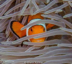 Anemonefish taken Sept 7, 2015 Canon 7D with 60mm macro... by Glenn Kulmer